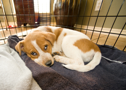 A brown and white puppy sleeping on a soft bed in a wire frame crate during house breaking