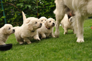 puppies after their mother