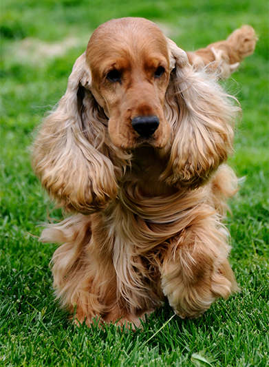 the-cocker-spaniel.png