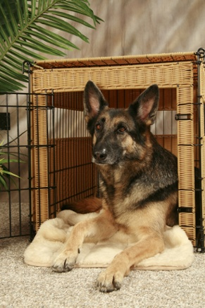 German Shepherd Dog who has already learned crate training in an attractive wicker and black metal crate