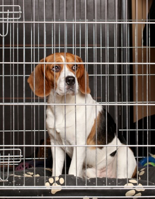 a beagle relaxes on his bed in a metal crate during a crate training session